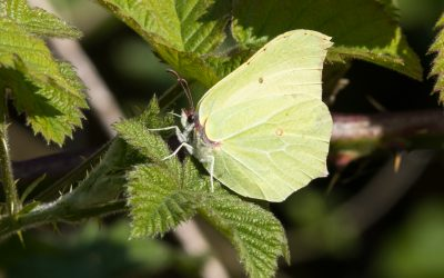 Hurst Meadows Butterfly Monitoring Project