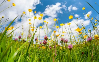 Wild Flower Information for No Mow May