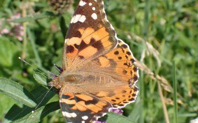 Butterfly walk in Hurst Meadows